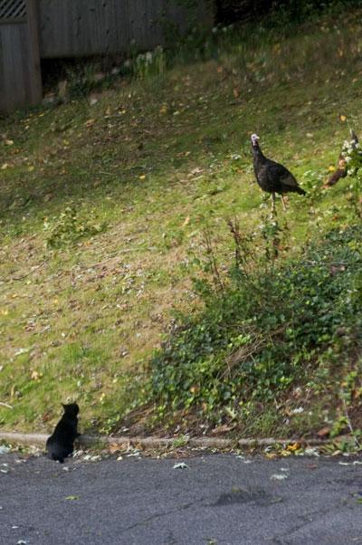 10-17-017-turk-cat1.jpg
