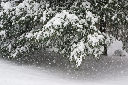 12-09-003 snow falling on pine